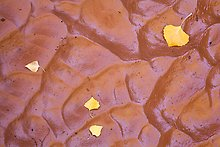 Fallen leaves and mud ripples, Courthouse Wash. Arches National Park.  ( )