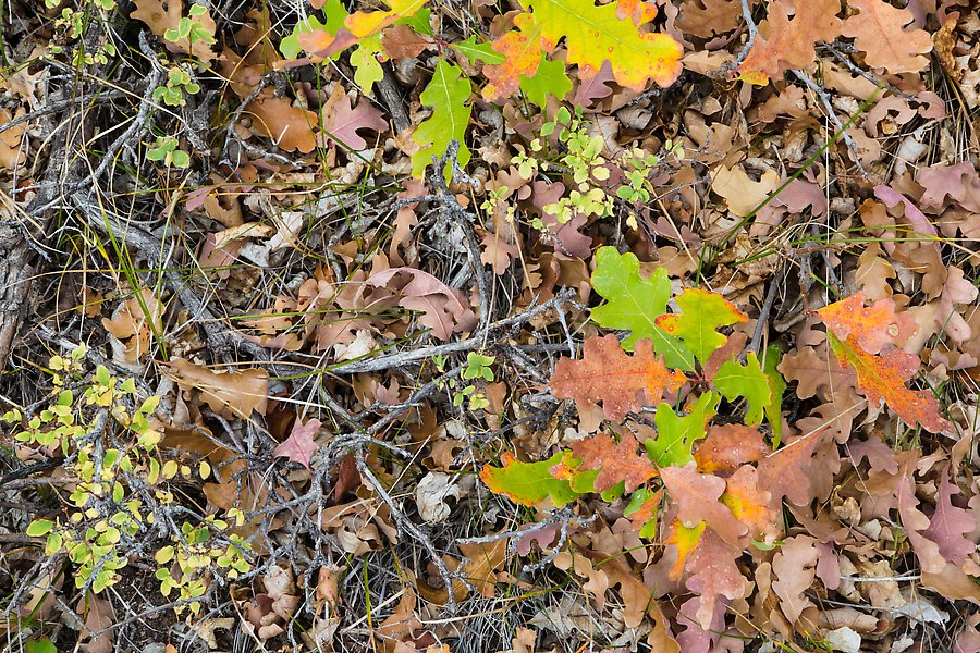 Oak leaves in autumn. Black Canyon of the Gunnison National Park.  ()