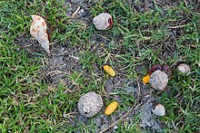 Hermit crabs and palm tree nuts. Dry Tortugas National Park.  ( )