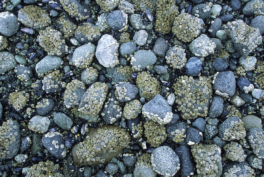 Rocks covered with mussels at low tide, Muir inlet. Glacier Bay National Park.  ()