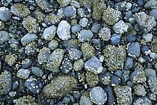 Rocks covered with mussels at low tide, Muir inlet. Glacier Bay National Park.  ( )