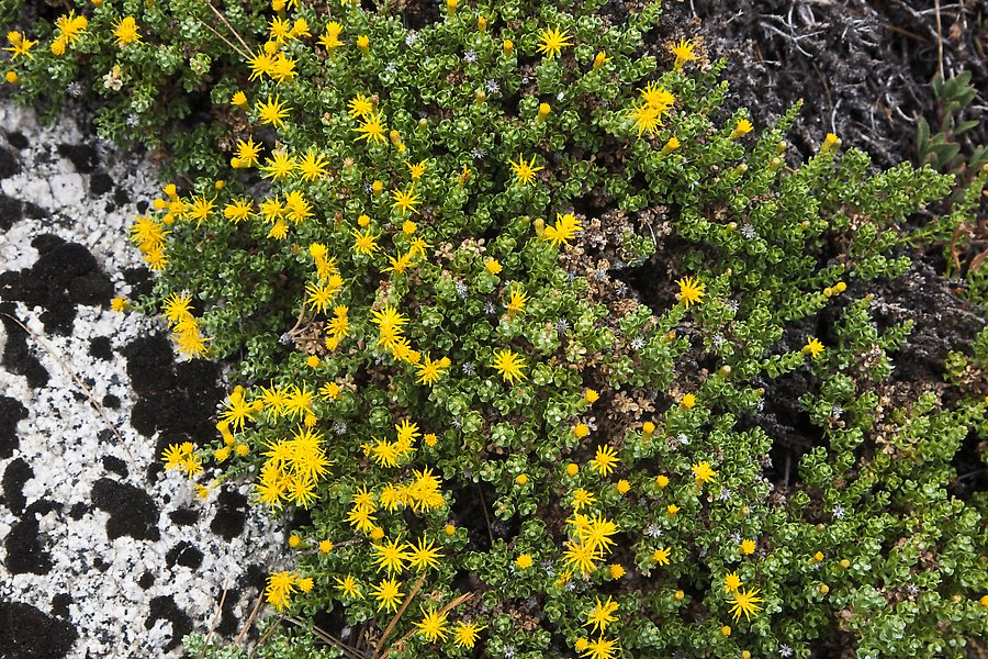 Tiny yellow flowers. Kings Canyon National Park.  ()