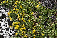 Tiny yellow flowers. Kings Canyon National Park.  ( )