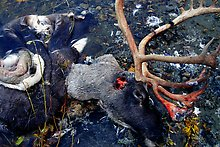 Dead caribou head discarded by hunters. Kobuk Valley National Park.  ( )