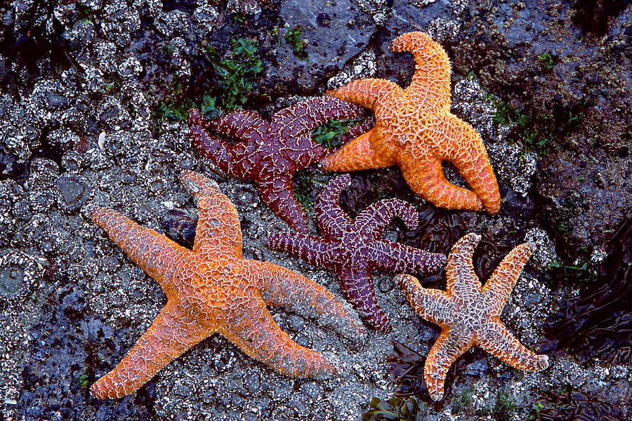 Sea stars on rocks at low tide. Olympic National Park.  ()