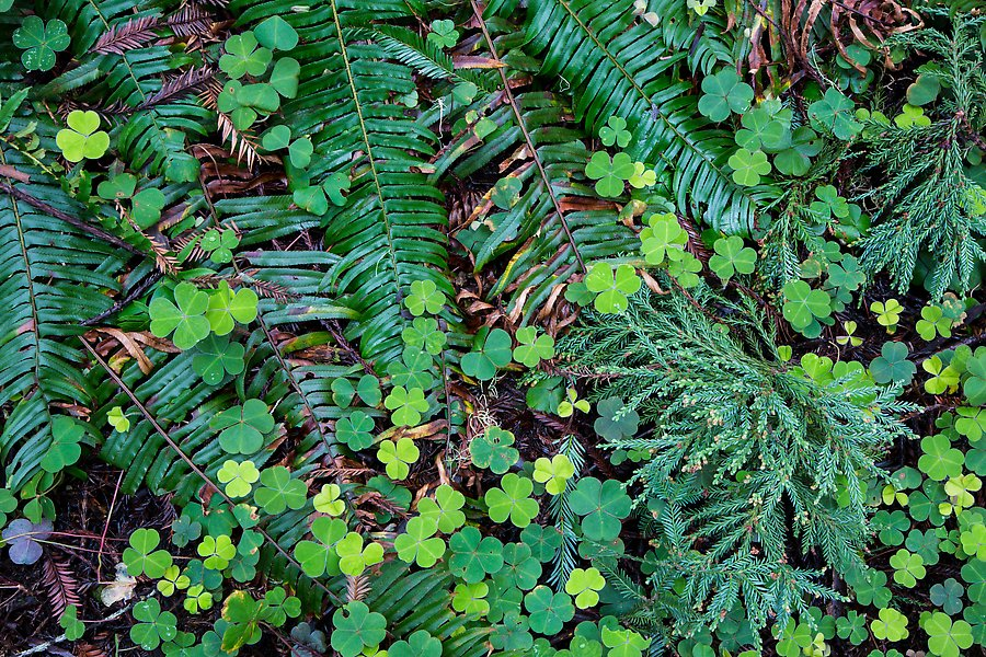 clovers, shamrocks, ferns, and redwood needles, Stout Grove, Redwood National Park.  ()