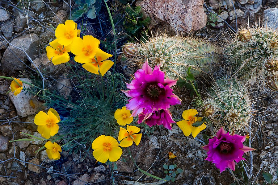 Close-up of hedgehodge cactus in bloom and poppies. Saguaro National Park.  ()