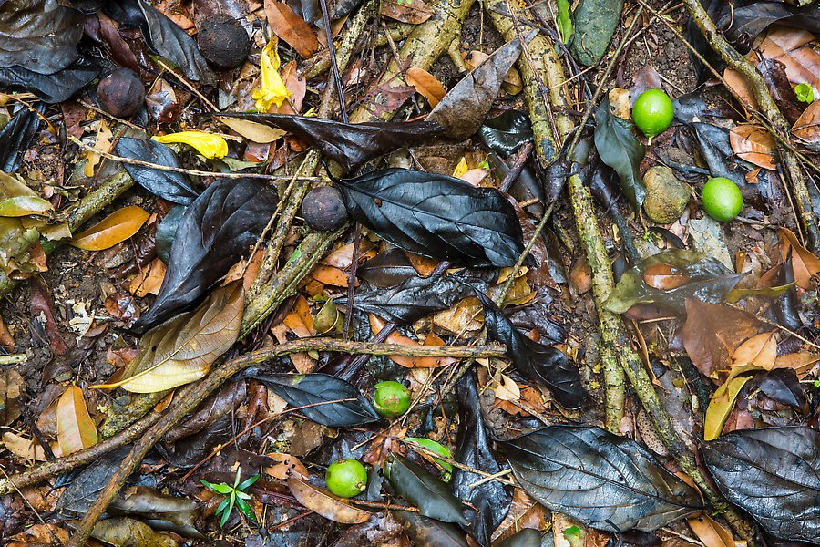 Fallen tropical fruit and leaves. Virgin Islands National Park.  ()