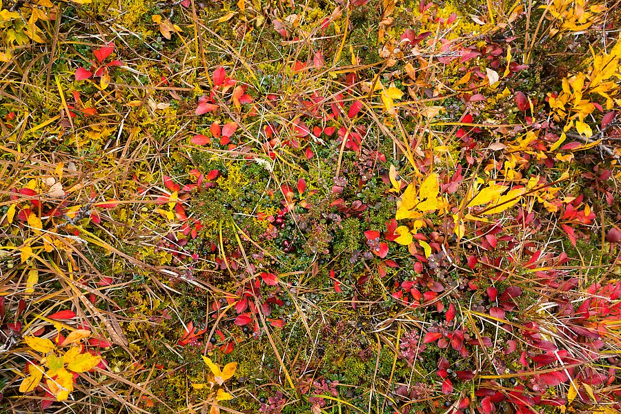 Tundra and berry plants. Wrangell-St Elias National Park.  ()