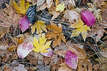 Maple and dogwood leaves, pine needles and cone. Yosemite National Park.  ( )
