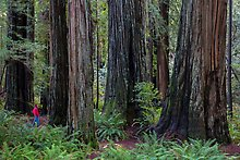 Stout Grove, Jedediah Smith Redwood. Redwood National Park.  ( )